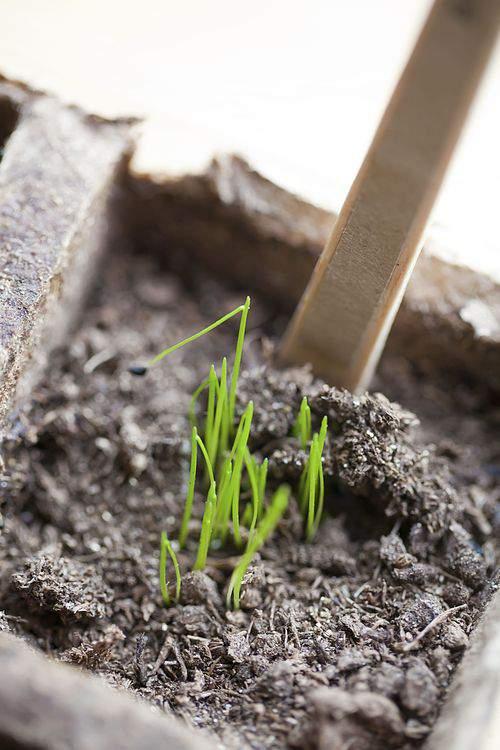 herb garden sprouts