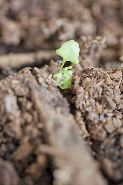 Blog lavender sprouts2