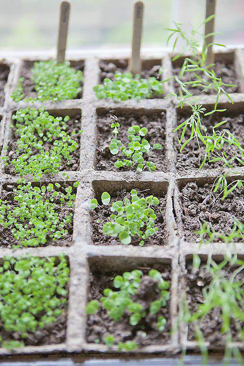 Herb garden growth