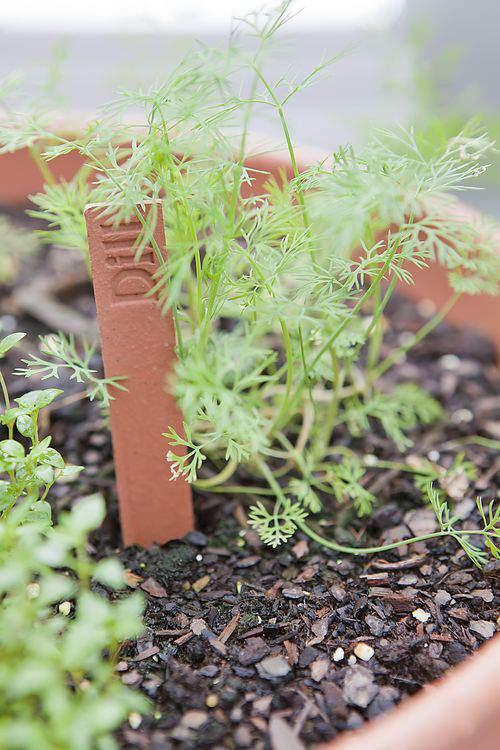 herb garden dill
