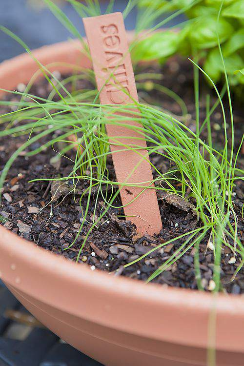 herb garden chives
