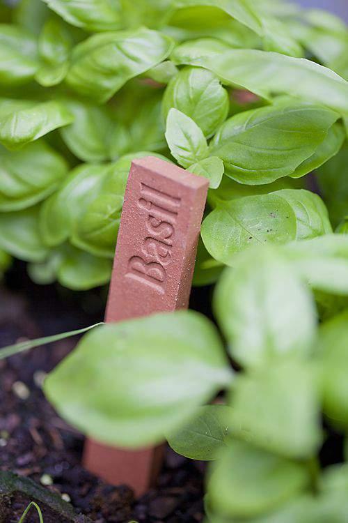herb garden basil