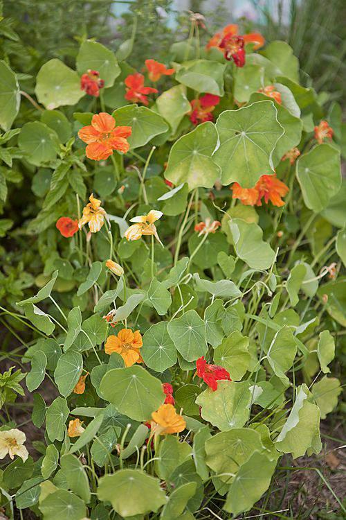 nasturtium garden