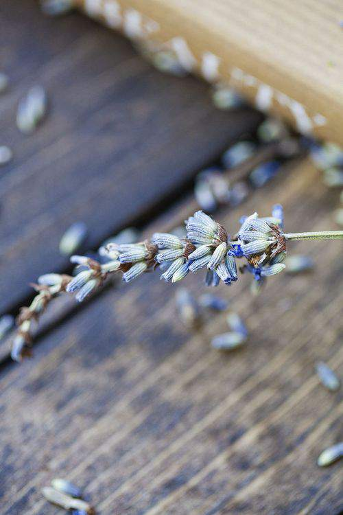 Blog french lavender closeup