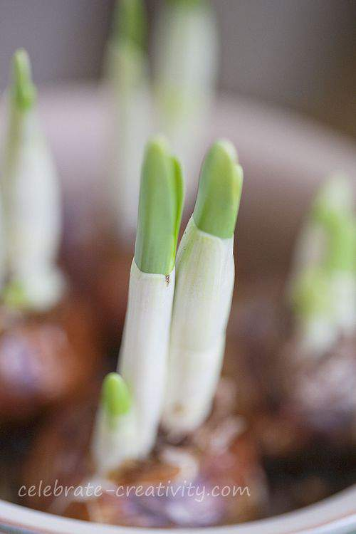 paperwhites growth