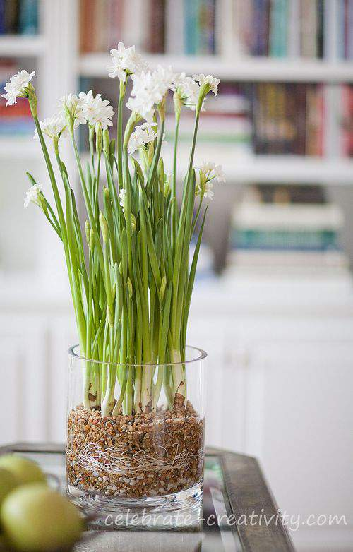 Paperwhites in glass vase