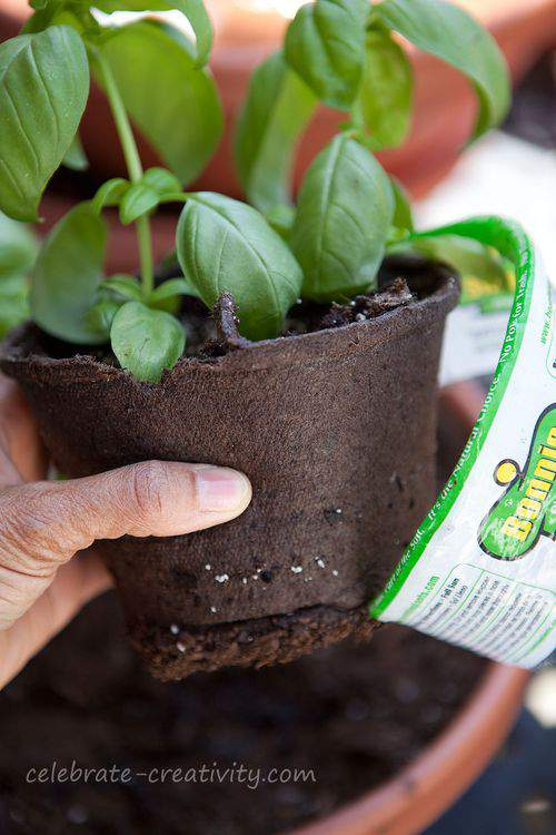 Basil peat pot