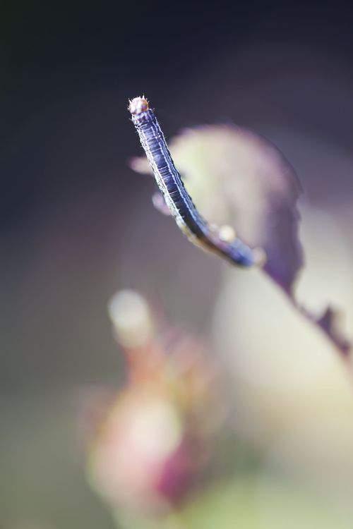 rose inchworm
