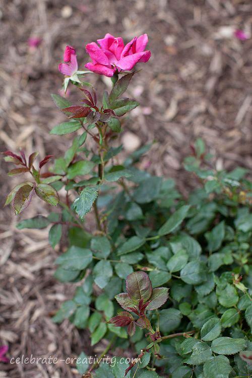 Knockout rose bloom