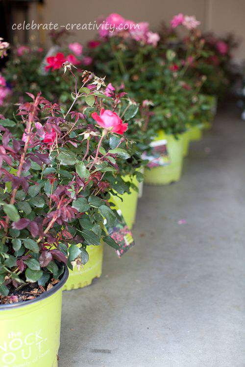 Knockout rose pots