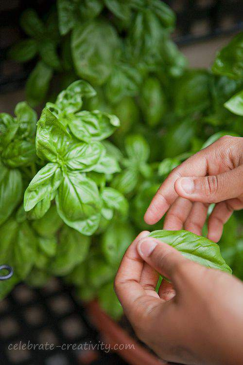 Blog-pizza-basil-picking