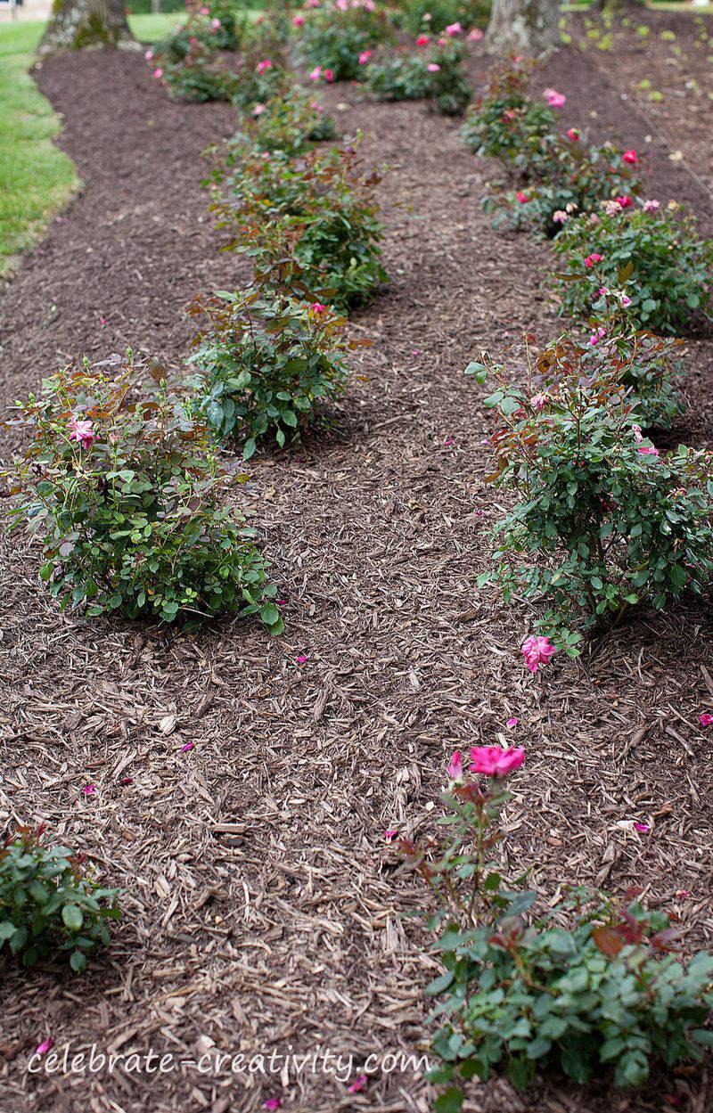 Blog-roses-row4