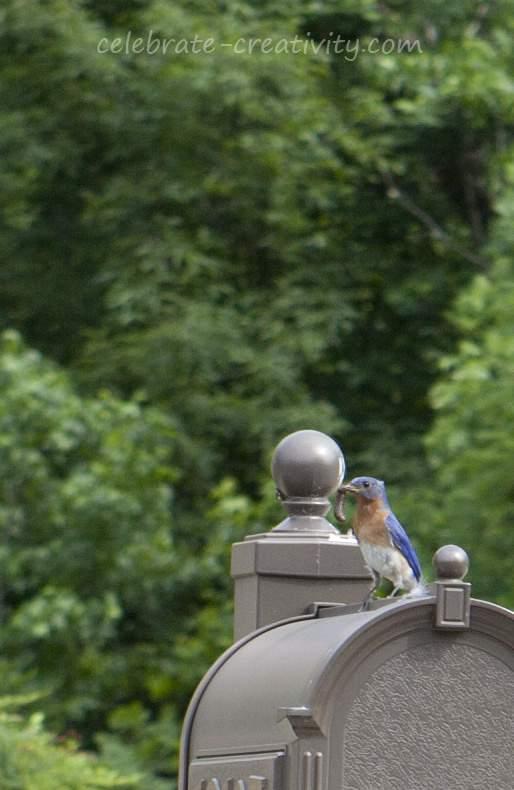 Mama bluebird2