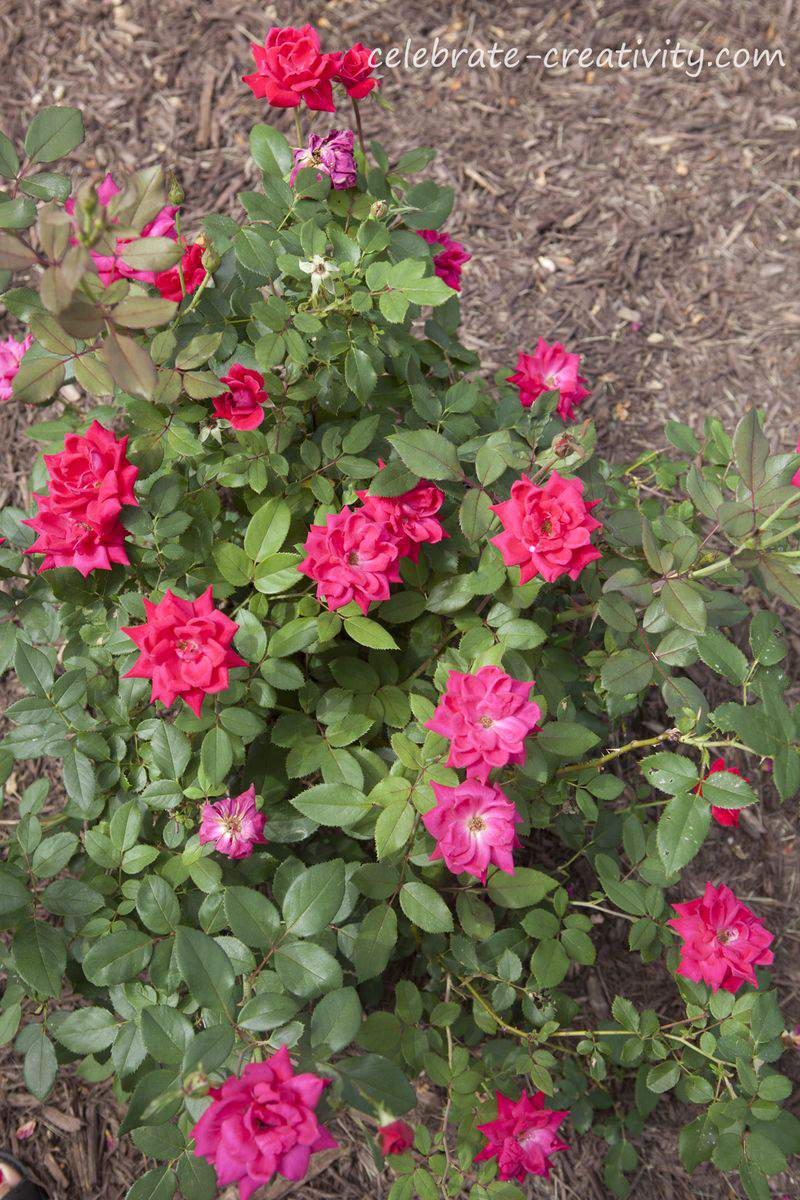 Deer fence roses2