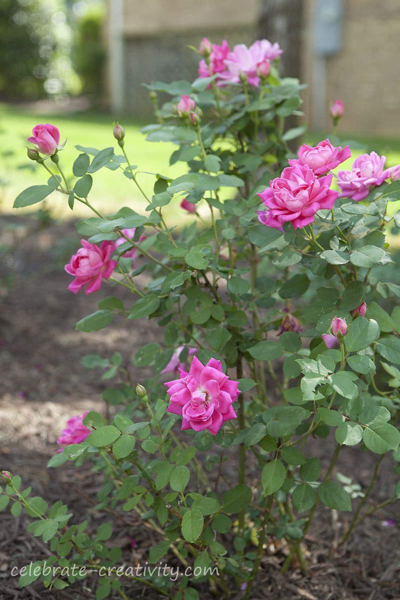 Deer fence pink roses