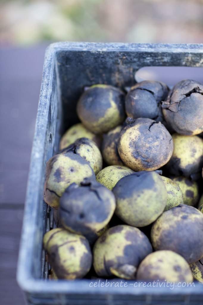 black walnut haul