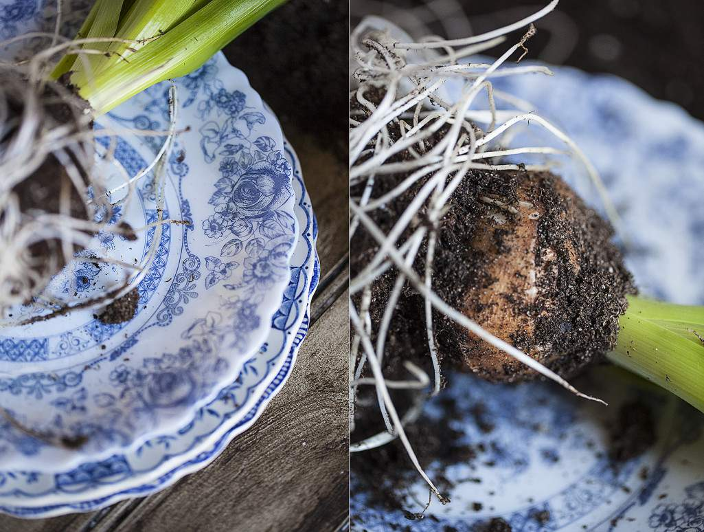 hyacinth plate and bulb