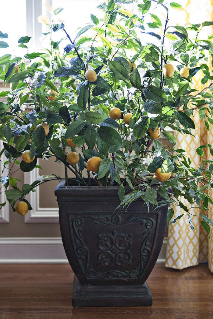 lemon ficus tree